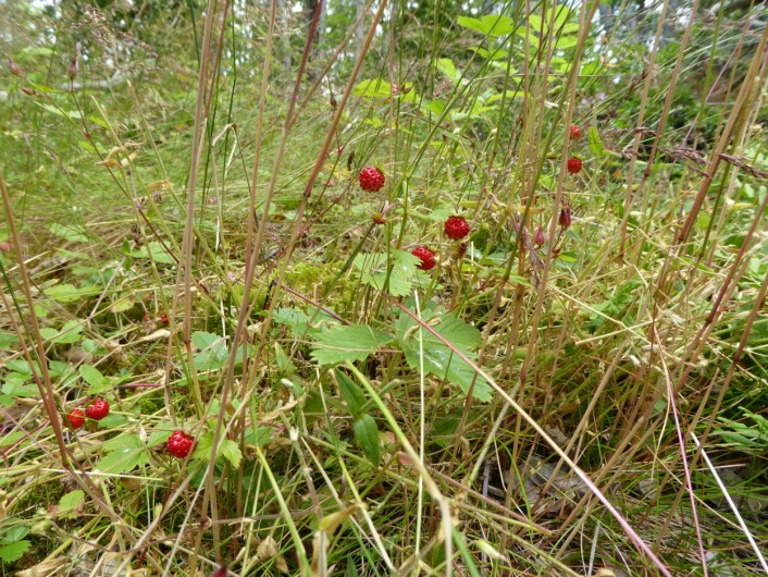 Markjordbær, en fryd og øyet og ganen. Foto: HAU