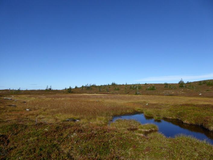 Myr med rødlig høstskjær på Ringsakerfjellet. Fint om høsten, kanskje enda bedre på vinteren. Foto: HAU
