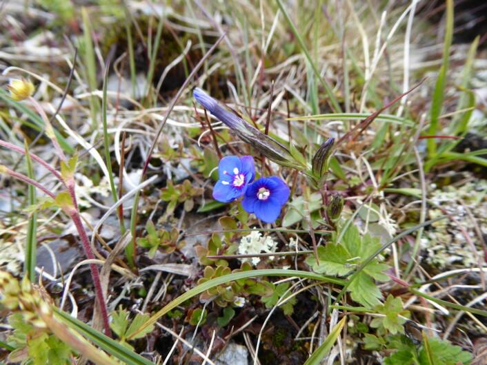 Mye mindre, og helt naturlig! Bergveronika gjør fjellnaturen på Finse enda finere. Foto:HAU