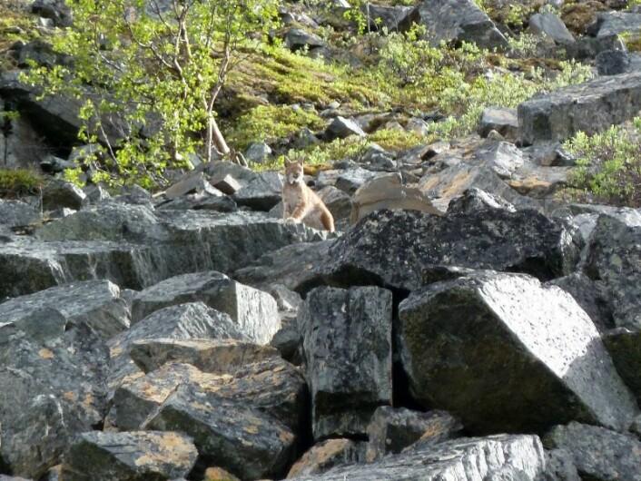 Hunngaupene velger ofte å få ungene i utilgjengelig blokkmark (Foto Thomas Strømseth/Scandlynx)