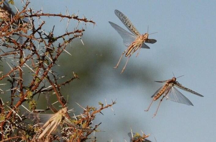 Slik ser ørkengresshoppen (Schistocerca gregaria) som kan danne millionsvermer ut. Her fra Chad i 2012. FAO/C. de Souza