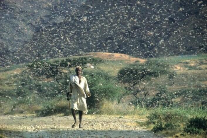 Ørkengresshopper svermer i Etiopia i juli 1968. Slike svermer kan telle 40 millioner individer. FAO/G. Tortoli
