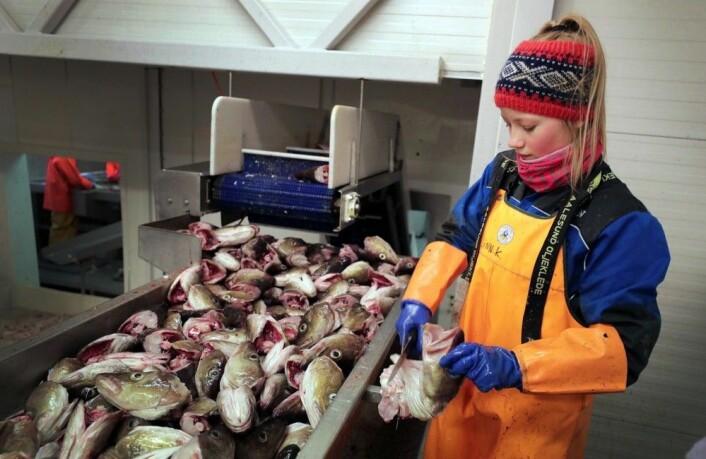 Linn Kristoffersen skjærer torsketunger på Myre fiskemottak i Vesterålen. Steiker du torsketunger i panna og serverer demmed råkost og rømme, har du velsmakendeog tradisjonsrik mat. (Foto: Ole Åsheim © Nofima)