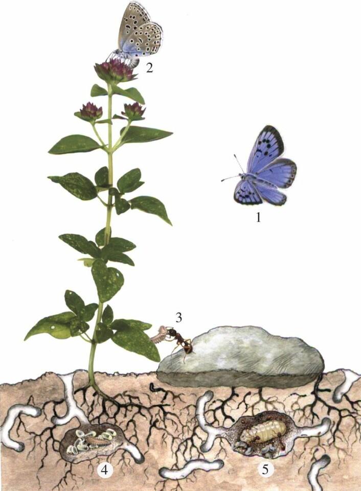"""Det fint tilpassede samspillet mellom våre tre stridende partnere: Oregano, en eitermaur og en blåvinge. Figuren er hentet fra artikkelen <a href=""""http://rspb.royalsocietypublishing.org/content/282/1811/20151111"""">http://rspb.royalsocietypublishing.org/content/282/1811/20151111</a>"""