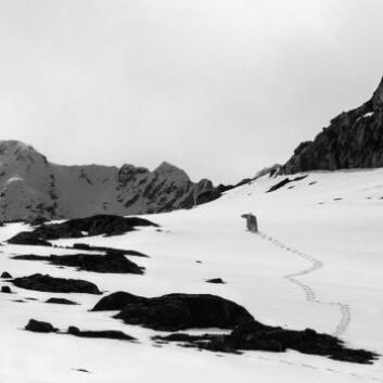 Ingen Svalbardroman uten en isbjørn. Kan en slikt syn gjøre deg til et annet menneske? (Foto: Børge Damsgård)