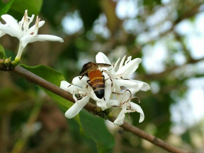 En mengde forskjellige arter av ville bier bidrar til pollinering av kaffe. Her ser du en bie på en kaffeblomst. (Foto: Colourbox)