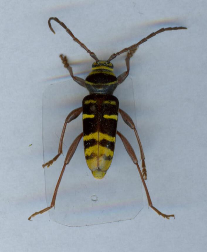 Bredbandad ekbarkbock (Plagionotus detritus) (Foto: Wikimedia Commons, fri lisens)