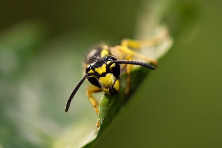 Stikkeveps oppsøker gjerne blomster for å spise nektar. (Foto: Colourbox)