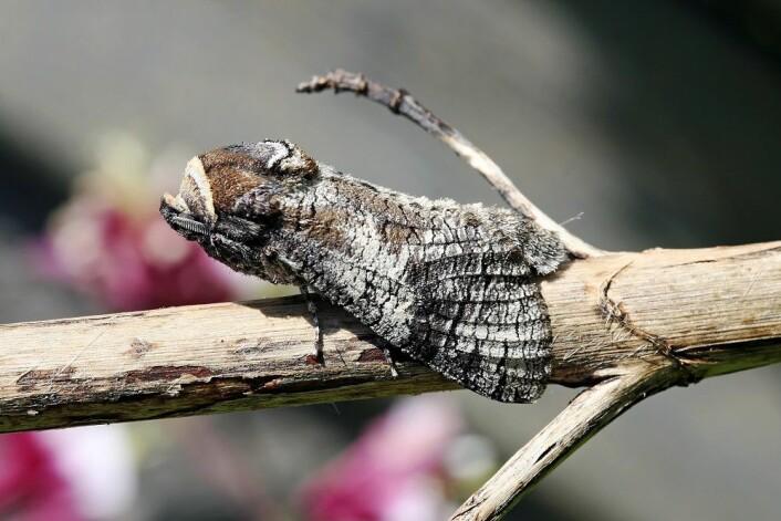 Som voksen kan løvtredreperen ha et vingespenn på opptil 9 cm. (Foto: Colourbox)