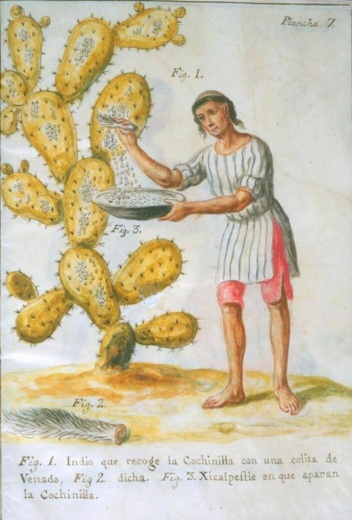 Innhøsting av Cochenille-skjoldlusen som gir rødfargen karmin, fra 1700-tallet. (Av José Antonio de Alzate y Ramírez (1737 – 1799). - Newberry Library: Vault Ayer MS 1031. Fri bildelisens)