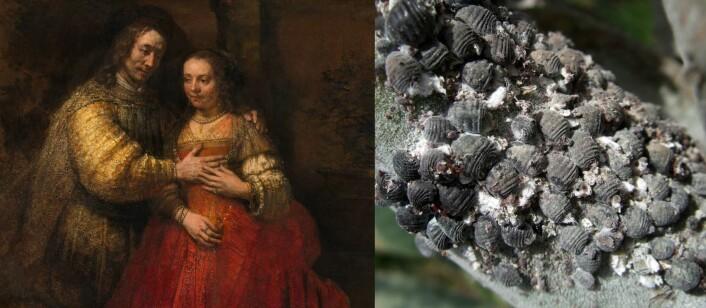 """Rembrandts «Den jødiske bruden» (t.v.), malt på 1600-tallet med karmin, rødfargen fra skjoldlusen <em>Dactylopius coccus</em> (t.h.) - den som også setter farge på dagens syltetøy og leppestift. (Foto til høyre: Zyance, Wikimedia Commons,<a href=""""https://commons.wikimedia.org/wiki/File:Cochenille_z02.jpg""""> se bilderettigheter her</a>)"""