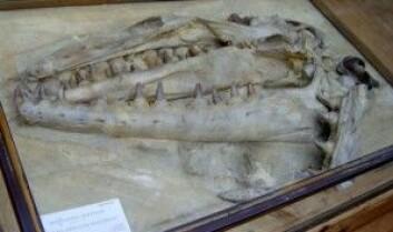 Hodeskallen til Mosasaurus hoffmani. (Foto: FunkMonk / Wikipedia)