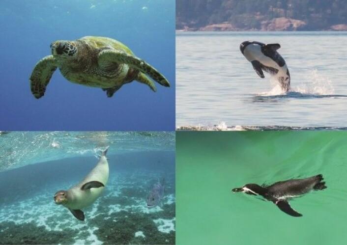 Vanndyr med forfedre på land finnes blant reptiler, pattedyr og fugler. Skilpadde, spekkhogger, sel, pingvin. Se bort fra fisken. (Foto: US Fish and Wildlife service, Steve Dunleavy, Tony Swartz, Andrew Reding)