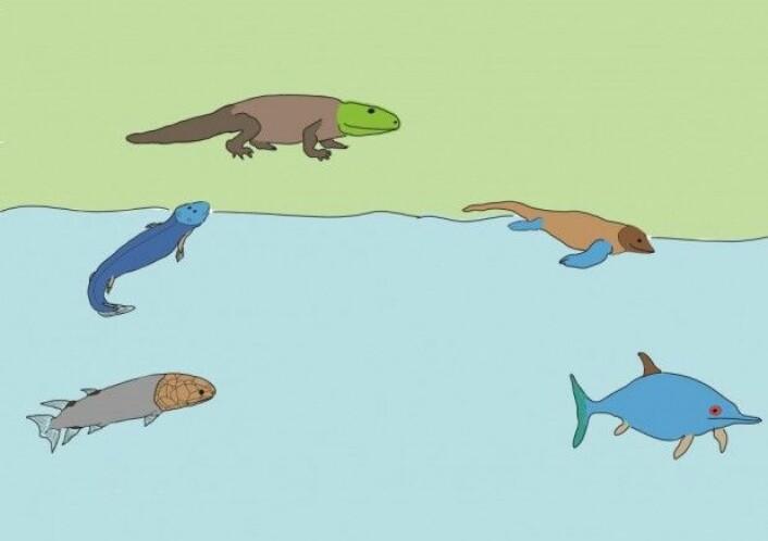 Fra fisk til landdyr til vanndyr, eksemplifisert ved fiskeøglas historie. (Tegning: LLD)