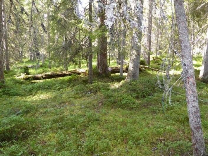 Og for deg som nå lurer: dette er en typisk blåbærskog; skyggefull granskog med mye mose og noen urter i tillegg til blåbær. Foto: HAU