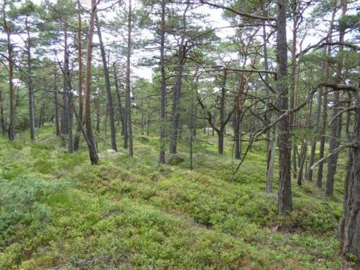 Her er det mye blåbær, men furutrærne viser at dette området er for tørt til å være blåbærskog.Foto: HAU