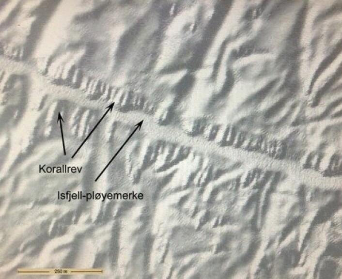 Utsnitt av multistrålekartet der vi ser hvordan korallrevene vokser på kanten av isfjellpløyemerket. Dette kartet ble laget før toktet og var noe av grunnlaget for at vi undersøkte akkurat dette pløyemerket med videoriggen. (Foto:MAREANO)