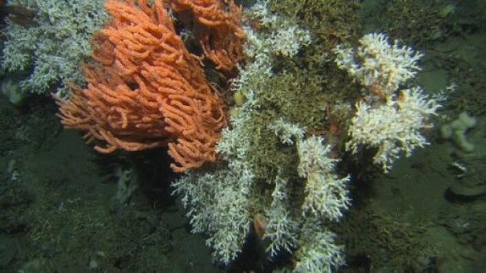 Perlekjederevet består av flere ulike korallarter. Den hvite korallen, Lophelia pertusa, er kjent for å bygge store rev i havdypet utenfor Norge, og den er også en viktig art på det nyoppdagete Perlekjederevet. Den oransje korallen er risengrynskorall. Ser du godt etter, kan du se både trollhummer og reirskjell blant korallene (Foto:MAREANO)
