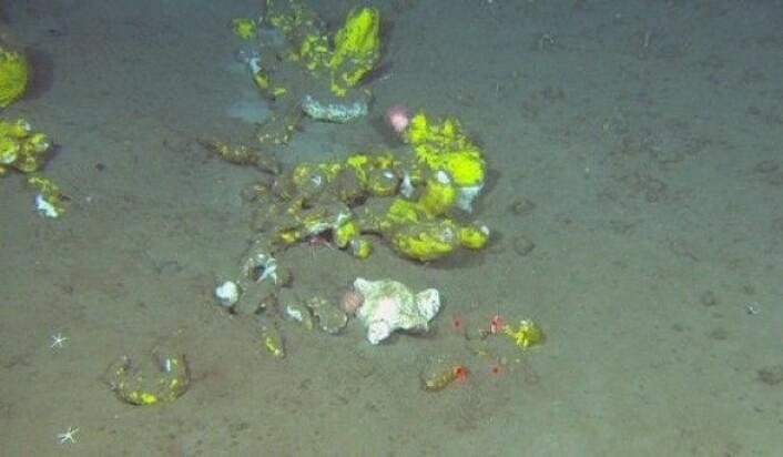 Vi har funnet svampsamfunn på bløtbunn på fire av lokalitetene. Disse er de samme som forekommer i større tettheter på Tromsøflaket og Eggakanten og dannes av en rekke forskjellige arter (<em>Geodia barretti</em>, <em>G. macandrewi</em>, <em>Stryphnus ponderosus</em>, <em>Aplysilla sulphurea</em> og <em>Stelletta grubei</em>). (Foto: MAREANO)
