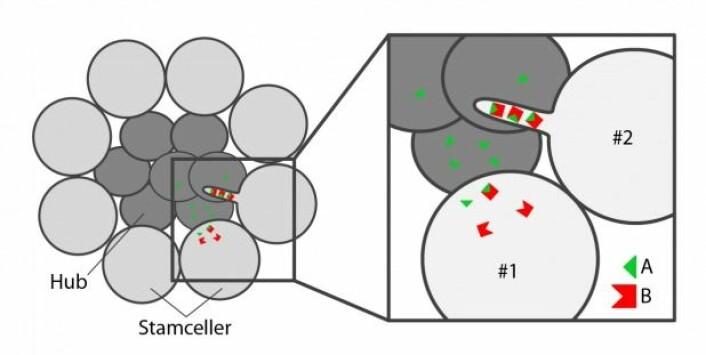 Rundt hubcellene (mørk grå) er stamcellene (lys grå) plassert som kronbladene på en prestekrage. Hubcellene lager signalstoff A (grønn), mens stamcellene lager reseptoren B (rød). Celle #1 mangler nanotuber, og de grønne signalmolekylene må selv finne veien over til stamcellen. I celle #2 er reseptorene plasssert i nanotuben, slik at signal og reseptor enklere kan møtes. Her vil flere signalmolekyler binde til reseptorene sine, og aktivere stamcelleidentitet i denne cellen.Illustrasjon: Åsmund Eikenes.