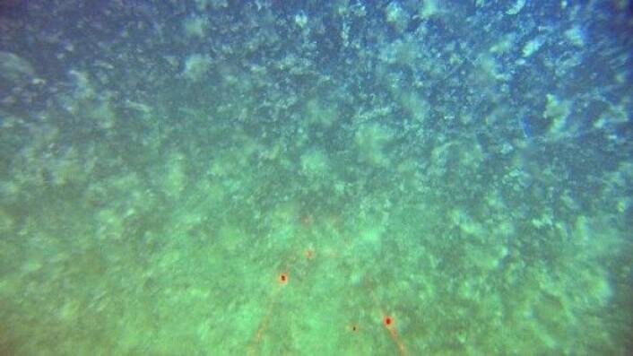 Dette er en marin snøstorm med store partikler bestående av nedfall fra produktive lag høyre oppe i vannsøylen.(Foto: MAREANO)