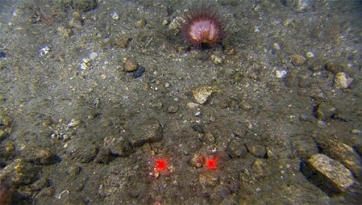Smakebit j: Sandholdig grus. En Hormathidae har slått seg ned på den harde bunnen. Disse er vanlige alle steder der det finnes feste, som på stein, grus eller skallet til eremittkreps. (Foto:MAREANO)