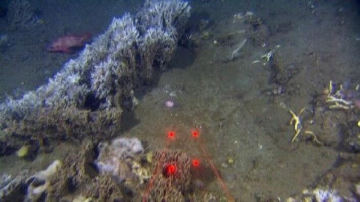 """Børstemarken Filigrana danner strukturer som hever seg over bunnsedimentene, og som danner nytt """"fundament"""" for andre smådyr på havbunnen. De røde punktene er videoriggens laserlys som hjelper forskerne til å finne størrelsen på observerte organismer. Det er 10 cm mellom hvert lyspunkt. (Foto: MAREANO)"""