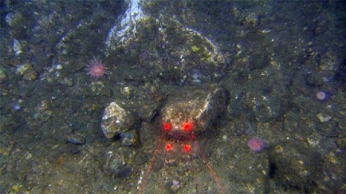 Smakebit e: Her og der lyste kremfarget berggrunn mot oss – kanskje det var saltet helt opp i dagen? Eller var det bergartene fra kritt-tiden som dominerer denne delen av Barentshavet? Det fikk vi dessverre ikke svaret på i denne omgang. (Foto: MAREANO)
