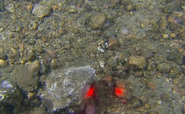 Allerede i løpet av de først to stasjonene varierte bunntypene stort. Langs det første transektet observerte vi mye grus og stein, samt mer mudderholdige sedimenter. Oppe til høyre i bildet skimtes fangarmene til en sjøpølse, og vi ser to sjøanemoner som har slått seg ned på denne varierte og harde bunntypen. De røde punktene er laserlys fra videoriggen (10 cm mellom punktene).(Foto: MAREANO)