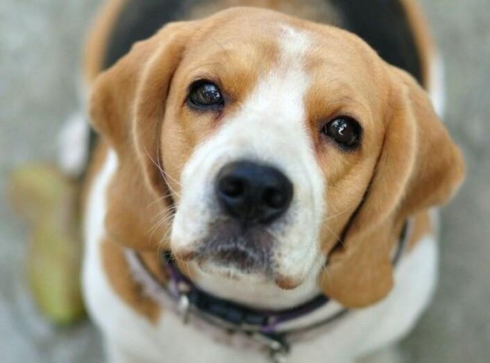 Hunder søker ofte blikk-kontakt med mennesker, noe som er en viktig faktor i kommunikasjon med oss. (Foto: Zhou Eka / Shutterstock / NTB scanpix)