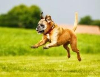 Boxer-genomet er det første hundegenomet til å bli kartlagt. (Foto: Colourbox)