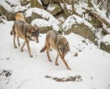 Gråulv, som disse to, og hund har sannsynligvis felles stamfar. Et stort ulvedyr, som levde i Europa. (Foto: Colourbox)