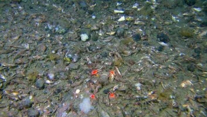 Sedimenter av blandet kornstørrelse med høy tetthet av skjellfragmenter. Ansamlinger av skjellrester er ikke nødvendigvis knyttet til tette bestander av levende organismer av samme art. De døde skjellene fordeles etter de samme dynamiske drivkreftene som også fordeler sand, mudder og grus i forhold til hvor kraftig vannet strømmer over havbunnen. (Foto:MAREANO)