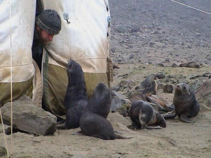 Det lever omkring 70 000 pelssel på Bouvetøya, og de er kjent for å være nysgjerrige og kontaktsøkende, som her der de gjerne kommer inn i teltet om de får lov. (Foto: Bjørn Krafft / Norsk Polarinstitutt)