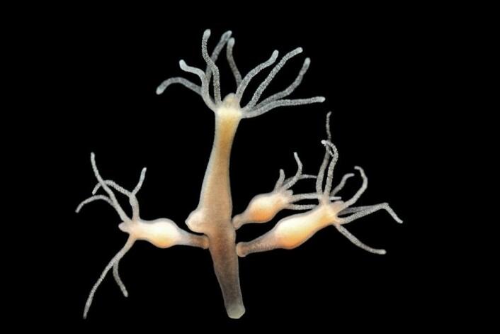 Hydraen kan formere seg på tre måter: den kan ha sex sånn som oss, den kan kuttes opp i biter og bitene fortsetter å vokse til egne individer, og den kan få en knopp - nesten som en plante - der en liten hydra vokser på den store og løsner og fortsetter livet. (Foto: Lebendkulturen.de, Shutterstock, NTB scanpix)