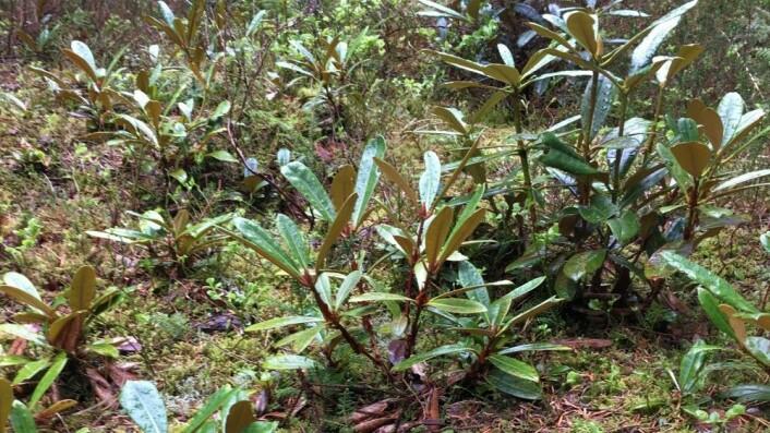 Her ser vi små rhododendron-planter i en skogslysning i Arboretet på Milde. Lysningen er over 100 meter unna arboretets egen rhododendronsamling, så de små plantene kan ikke være kloner, men må komme fra frø. (Foto: Rakel Blaalid)