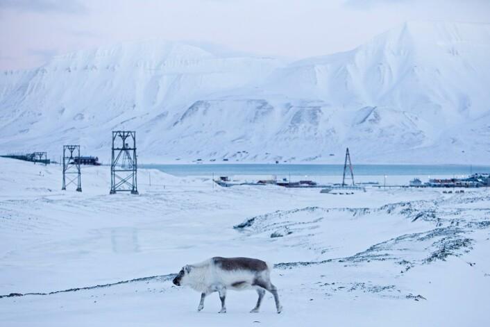 Finnes det egentlig villrein i Norge? (Foto: Tore Meek, Scanpix)