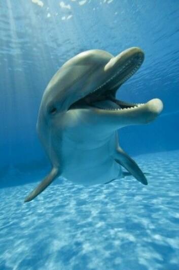 Er delfinen virkelig et høytstående individ med tett kontakt med naturen? Og hva betyr det? (Foto: Ricardo Canino, Shutterstock, NTB scanpix)