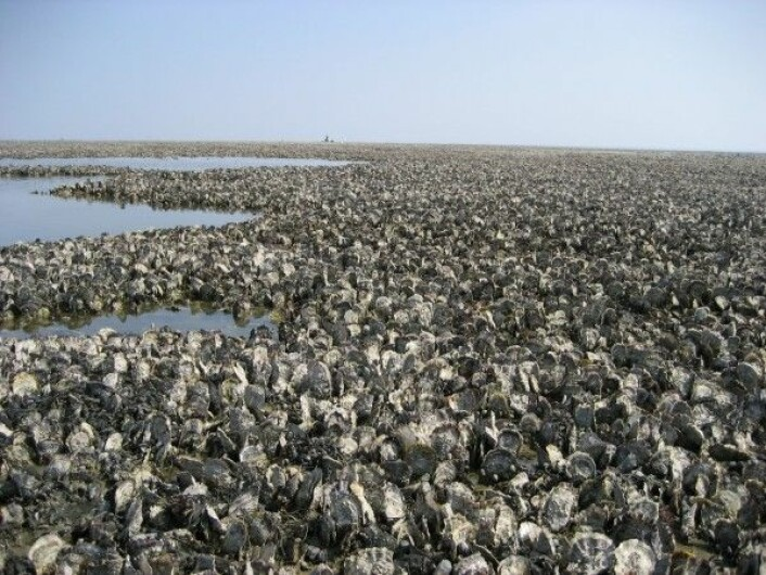 Dersom stillehavsøstersen får spre seg i fred kan det bli mange av dem. Dette bildet viser en stor mengde med østers utenfor øyen Juist i Tyskland. (Foto: Achim Wehrmann / Senckenberg Research Institute)