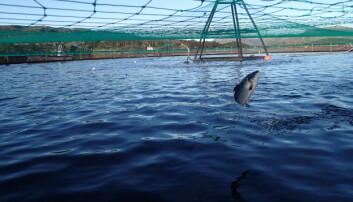 Oppdrettslaks hopper oftere når det er lakselus i vannet