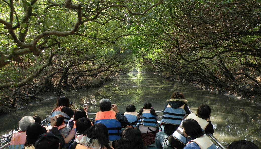 Mangroveskogen i verden lider under menneskelig påvirkning fra blant annet hogst og oppdrett. Her er mangrove i Taijiang nasjonalpark i Taiwan. (Foto: Koika/Wikimedia Commons)