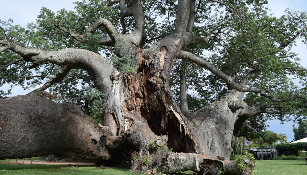 Dette er Sunland-baobab, det største baobab-treet i Afrika. Den begynte å kollapse i 2016, og var nesten helt klappet sammen i 2017. Du kan se hvordan det gikk i bildet nede i saken.  (Foto: A. Patrut)