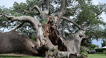 De eldgamle baobab-trærne kollapser, men forskerne skjønner ikke hvorfor