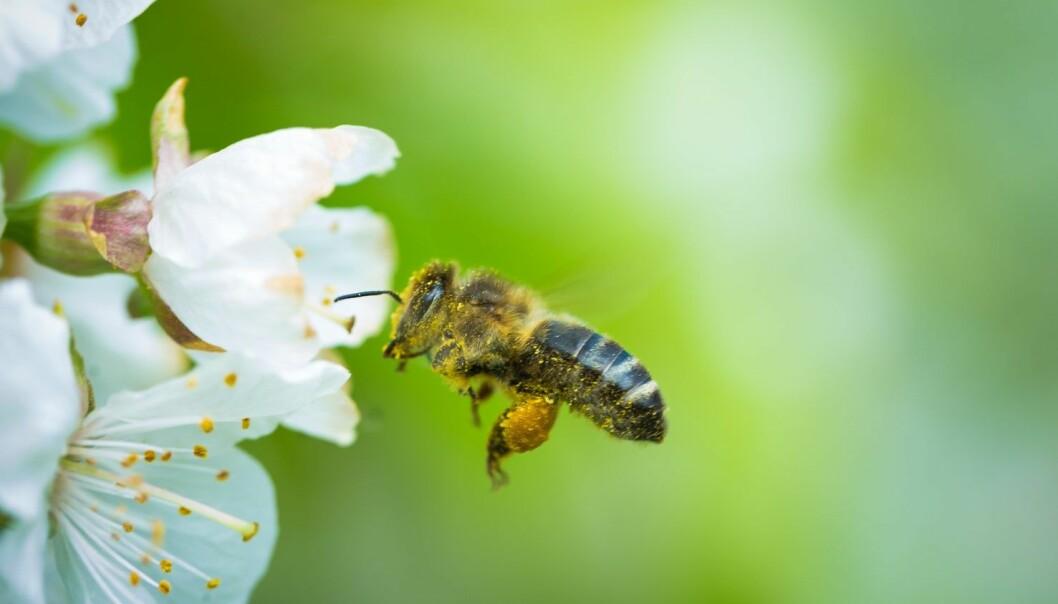 Hvor mange blomster? Bier har tidligere vist at de kan «telle» til fire. Nå mener forskere at de også skjønner hva null er. (Illustrasjonsfoto: Lightpoet / Shutterstock / NTB scanpix)