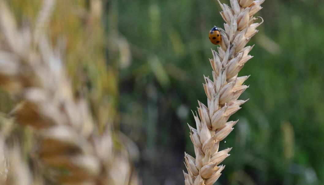 Kornsorten einkorn var kanskje den aller første planten som ble dyrket. Men hva var det som førte til at mennesket begynte å dyrke jorda i det hele tatt? (Foto: Smirnova AnnaEE, Shutterstock / NTB scanpix)