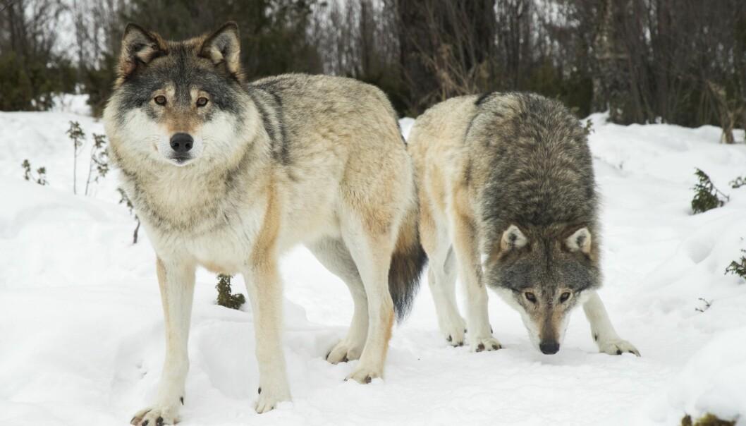 Fallet i den skandinaviske bestanden skjer i Sverige. (Foto: Heiko Junge, NTB scanpix)