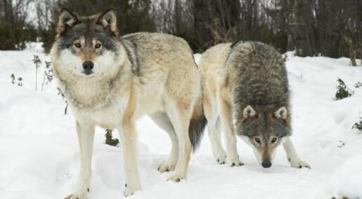 Det blir færre ulv i Skandinavia
