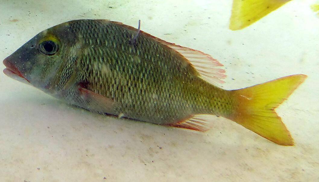De mest stressede fiskene i studien brukte betydelig lengre tid på å sette seg i bevegelse etter at de hadde blitt sluppet ut. Her en type piggfinnefisk (Lethrinus atkinsoni). (Foto: Vanessa Messmer)