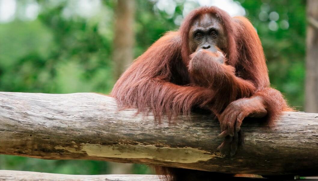 Organgutangen er blant dyrene som er truet av utryddelse på grunn av menneskets forvaltning av jordkloden. (Foto: Dave Primov, Shutterstock, NTB scanpix)