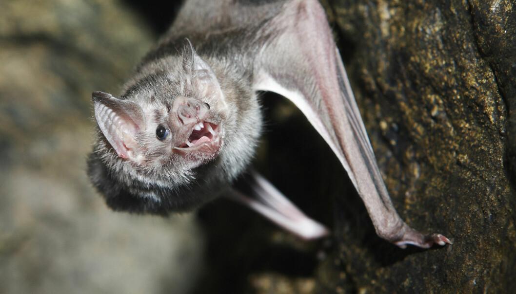 Vampyrflaggermusene utviklet seg sammen med mikroorganismene sine for å greie å livnære seg utelukkende av blod. (Foto: Shutterstock / NTB Scanpix)